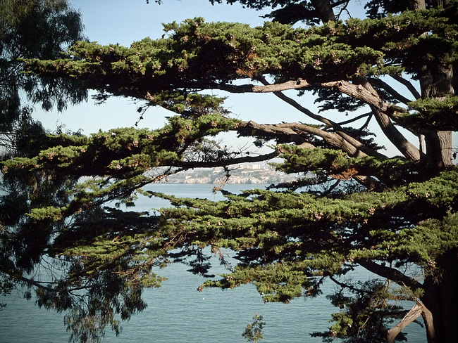 monterey-pine-close-up