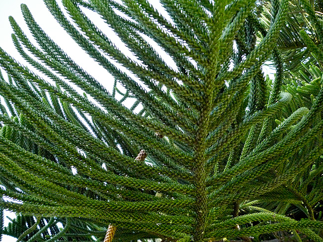 norfolk-pine-close-up